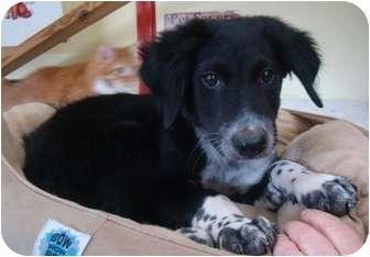 Border Collie/Australian Shepherd Mix Puppy for adoption in Haughton, Louisiana - Freckles