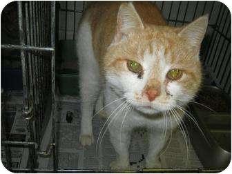 Domestic Shorthair Cat for adoption in Henderson, North Carolina - Shimmer