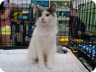 Domestic Longhair Cat for adoption in Sterling Hgts, Michigan - Lil Lady
