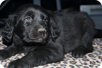 Rottweiler/Golden Retriever Mix Puppy for adoption in Wytheville, Virginia - Travis Tritt