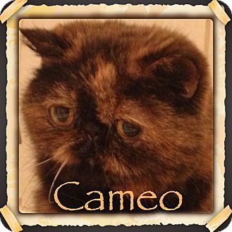Exotic Cat for adoption in Beverly Hills, California - Cameo