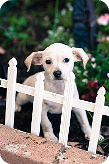 Dachshund/Jack Russell Terrier Mix Puppy for adoption in Auburn, California - Linus