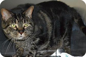 Domestic Shorthair Cat for adoption in Elyria, Ohio - Joey