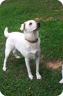 Labrador Retriever Mix Dog for adoption in Staunton, Virginia - Nanuque