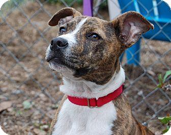 Staffordshire Bull Terrier Mix Puppy for adoption in Bradenton, Florida - Marylou