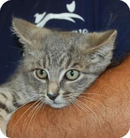 Domestic Shorthair Kitten for adoption in Brooklyn, New York - Stacie