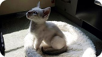 Siamese Kitten for adoption in Wayne, New Jersey - Olympia