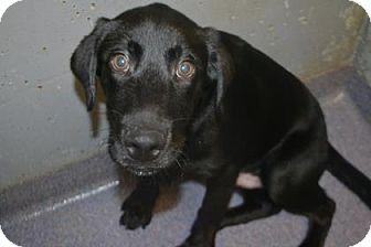 Labrador Retriever Mix Dog for adoption in Edwardsville, Illinois - Astro