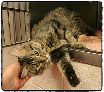 Domestic Mediumhair Cat for adoption in Marietta, Georgia - LAYLA - see video!