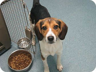 Beagle Mix Dog for adoption in McClure, Ohio - Arnie