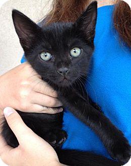 Domestic Shorthair Kitten for adoption in Orlando, Florida - Ming Ming