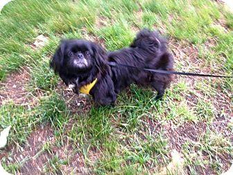 Pekingese Mix Dog for adoption in Portland, Maine - Annie