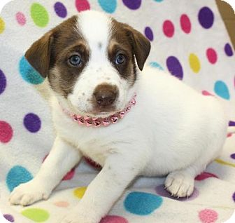 Husky Mix Puppy for adoption in Cottageville, West Virginia - Dixie
