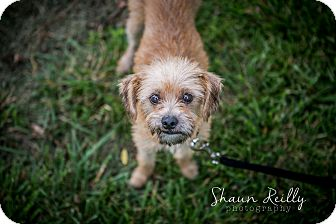 Border Terrier Mix Dog for adoption in Hammonton, New Jersey - Terri