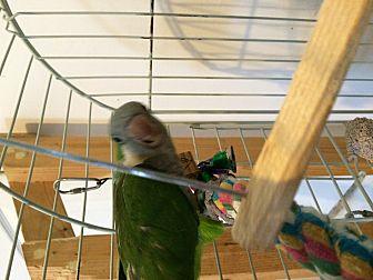 Parakeet - Quaker for adoption in Punta Gorda, Florida - Jazzy