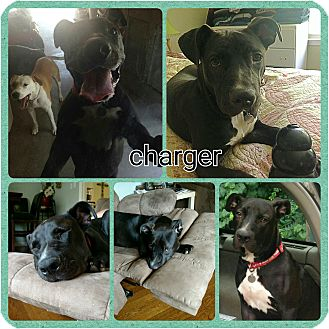 Labrador Retriever/American Bulldog Mix Dog for adoption in Gainesville, Georgia - charger