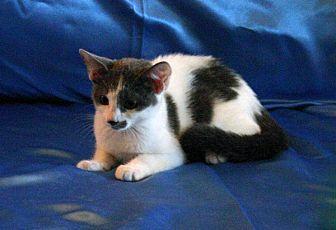 Domestic Shorthair Kitten for adoption in Sarasota, Florida - Bernadette