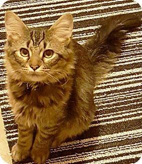 Domestic Shorthair Cat for adoption in Arlington/Ft Worth, Texas - Kingsley