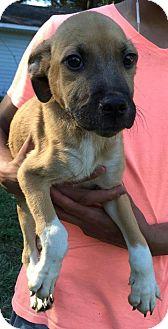 German Shepherd Dog Mix Puppy for adoption in Ocala, Florida - Ceasar