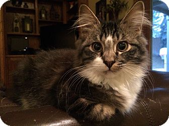 Domestic Mediumhair Kitten for adoption in Salt Lake City, Utah - Pounce