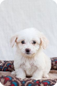 Maltese/Yorkie, Yorkshire Terrier Mix Puppy for adoption in Auburn, California - Daisy