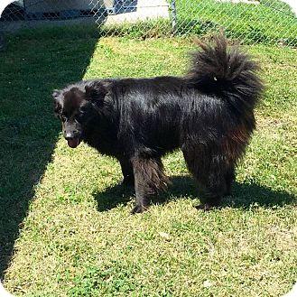 Flat-Coated Retriever/Labrador Retriever Mix Dog for adoption in Concord, North Carolina - Eggers