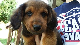 Dachshund Mix Puppy for adoption in Forest Hill, Maryland - Austin