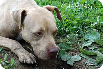 American Pit Bull Terrier Mix Dog for adoption in Columbia, Tennessee - Champagne **ADOPTION PENDING**