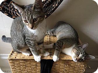 Domestic Shorthair Kitten for adoption in Acushnet, Massachusetts - Charlie & Lola