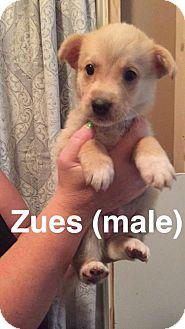 Shepherd (Unknown Type)/Husky Mix Dog for adoption in Olympia, Washington - Zeus