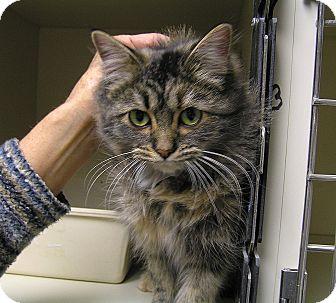 Domestic Longhair Cat for adoption in Creston, British Columbia - Birch