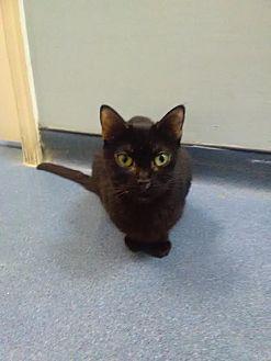 Domestic Shorthair Cat for adoption in Jupiter, Florida - Princess