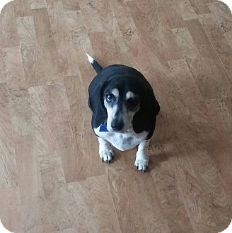 Beagle/Dachshund Mix Dog for adoption in Rosemount, Minnesota - Ruthie