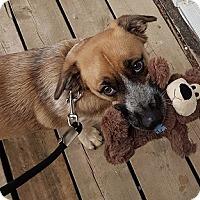 Adopt A Pet :: Bean - Hamilton, ON
