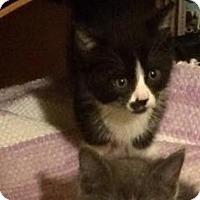 Adopt A Pet :: Rose - LaGrange Park, IL