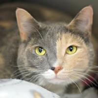 Adopt A Pet :: Minerva Miesha - Annapolis, MD