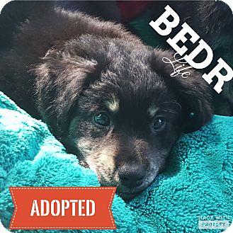 Collie/Shepherd (Unknown Type) Mix Puppy for adoption in Regina, Saskatchewan - Martha