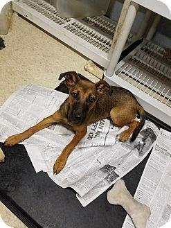 Shepherd (Unknown Type)/Retriever (Unknown Type) Mix Dog for adoption in Harmony, Glocester, Rhode Island - Wendy