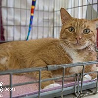 Domestic Shorthair Cat for adoption in Merrifield, Virginia - Boots