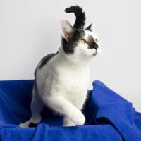 Adopt A Pet :: Tex - Santa Paula, CA