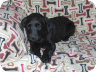 Labrador Retriever/Retriever (Unknown Type) Mix Puppy for adoption in Broomfield, Colorado - Raven