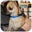 Photo 1 - Chihuahua Dog for adoption in House Springs, Missouri - Omar