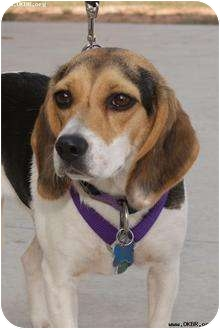 Beagle Dog for adoption in Norman, Oklahoma - Ruby