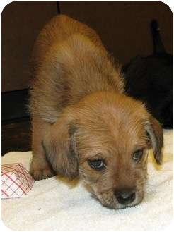 Terrier (Unknown Type, Small) Mix Puppy for adoption in Houston, Texas - Sneezy