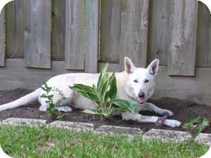 German Shepherd Dog Dog for adoption in Houston, Texas - Lily