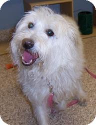 Westie, West Highland White Terrier Mix Dog for adoption in Chambersburg, Pennsylvania - Josie