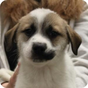 Labrador Retriever Mix Puppy for adoption in Naperville, Illinois - Ramsey