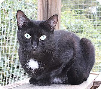 Domestic Shorthair Cat for adoption in Griswold, Connecticut - Quill