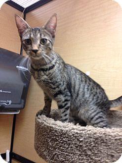 Egyptian Mau Cat for adoption in Monroe, Georgia - Jolie