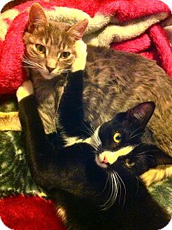 Domestic Shorthair Cat for adoption in Lafayette, California - Tucker URGENT! FOSTER NEEDED